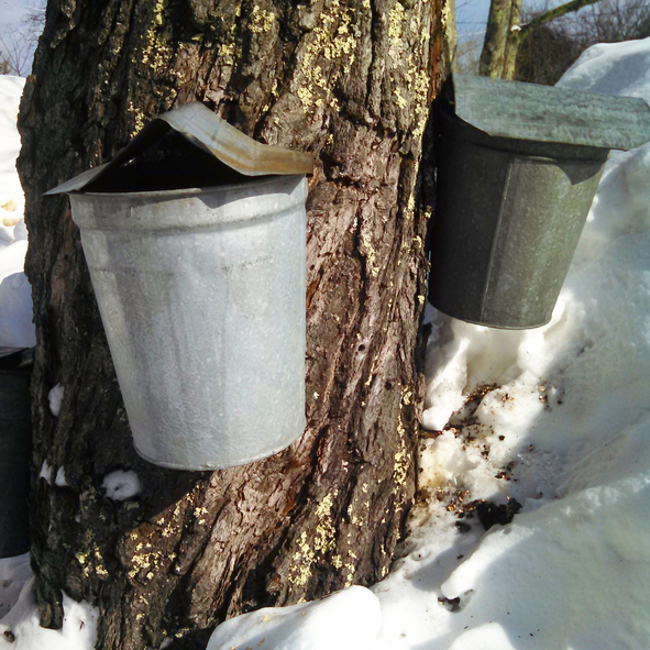Collecting pure maple sap